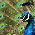 Peacock Profile by Frank Larkin
