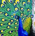 Peacock by Swapnil Sharma