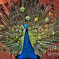 Peacock Tails by Paul Ward