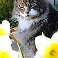 Peanut The Cat And Jonquils by Mike Nellums