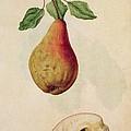 Pear   Pyrus Communis by J le Moyne de Morgues