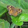 Pearl Crescent Butterfly by Randi Shenkman