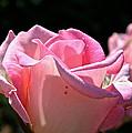 Pearl Pink Petals by Susan Herber