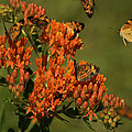 Pearly Crescentpot Butterflies Landing On Butterfly Milkweed by Daniel Reed
