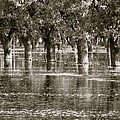 Pecan Trees I by Penny Anast