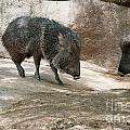 Peccary by Carol Ailles