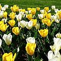 Peddler's Tulip 2012 3 by M Brandl