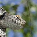Peek-a-boo Lizard by Dianne Phelps