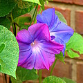 Peek-a-boo Morning Glories by Carla Parris