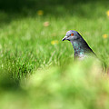 Peek-a-boo Pigeon by Jeff Galbraith