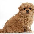 Peekapoo Pup by Mark Taylor