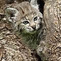 Peeking Out - Bobcat Kitten by Sandra Bronstein