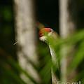 Peeping Crane by Matt Tilghman
