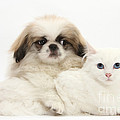 Pekinese Puppy And Maine Coon-cross by Mark Taylor