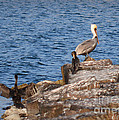 Pelican And Cormorants by Donna Brown
