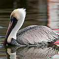 Pelican by Christine Stonebridge