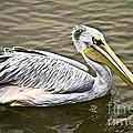 Pelican by Heiko Koehrer-Wagner