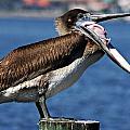 Pelican I by Joe Faherty