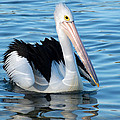 Pelican by Imagevixen Photography