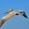 Pelican In Flight by Lynn Bauer
