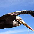 Pelican In Flight by Susanne Van Hulst