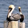 Pelican Pair by David Lee Thompson