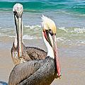 Pelican Pair by Jean Noren