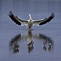 Pelican Protector - Florida Wildlife Scene by Rob Travis