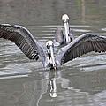 Pelican Span by Teresa Blanton