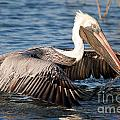 Pelican Take Off by TJ Baccari