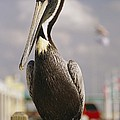 Pelican Visiting City Marina by Richard Nowitz