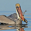 Pelican With Catch by Dave Mills
