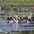 Pelicans At Knuckey Lagoon by Douglas Barnard