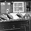 Pelicans by Calvin Smith