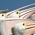 Pelicans (eyes Have It) by An Gobán Saor