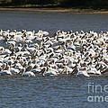 Pelican's Feeding by Roger Look