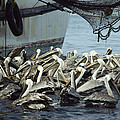 Pelicans Float In Water Near A Shrimp by Bill Curtsinger