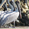 Pelicans Of Keaton Beach Canal by Marilyn Holkham