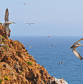Pelicans Off The Point by Lynn Bauer