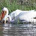Pelicans Working The Shallows by Judy Garrett