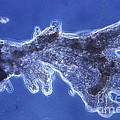 Pelomyxa Carolinensis Lm by Eric V. Grave
