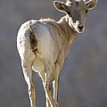 Peninsular Bighorn Sheep Ovis by Rich Reid