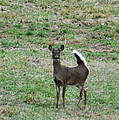 Pennsylvania White Tail Deer by Bill Cannon