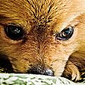 Pensive Pomeranian by Ben Porway