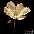 Peony Flower Portrait Sepia by Jennie Marie Schell