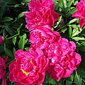 Peony Named Karl Rosenfield by J McCombie