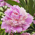 Peony Paeonia Sp Mme Emile Debatene by VisionsPictures