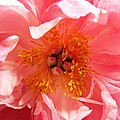 Peony by Peter Mooyman