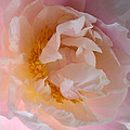 Peony Pink by Penny Hunt