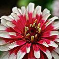 Peppermint Zinnia by Susan Herber